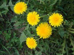annual plant, prairie, dandelion, flower, yellow, plant, sow thistles, flatweed, daisy, herb, wildflower, flora, meadow,
