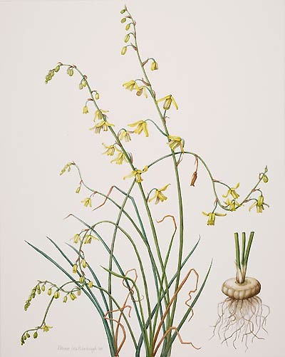 "Eleanor I. Rohrbaugh, Albuca canadensis, 2008  Watercolor on Fabriano 140 lb. soft press, 20"" × 16"". © Copyright Brooklyn Botanic Garden"