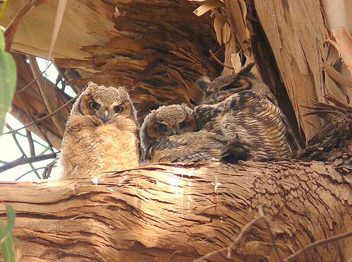 Great Horned Owl Family-Explore #73 5/26/10