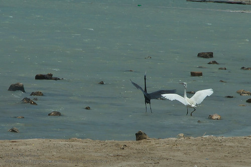 Black & White / The dancing pair  (Egrets)