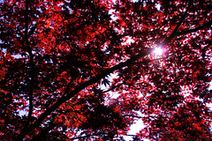 Cranbrook Maple