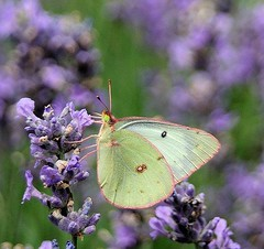 Little pale Green Butterfly by mountaingirl7869