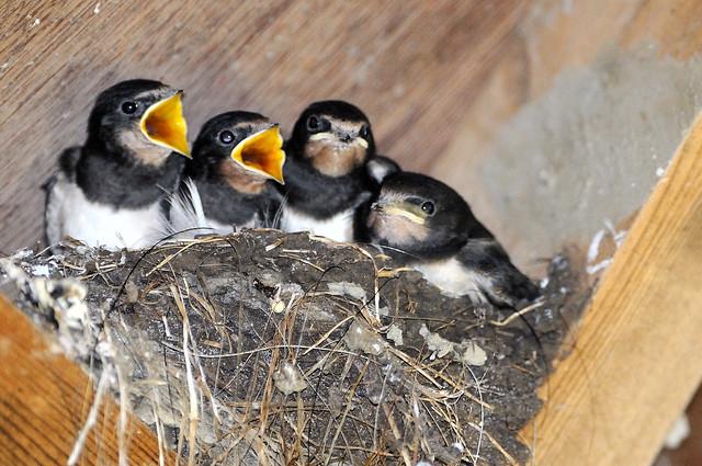 Juv Barn Swallows