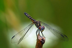 Dragonfly, by Moczkos
