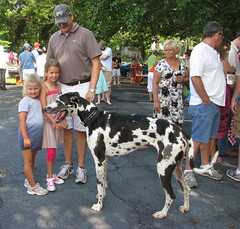 great dane, dog, pet, mammal, guard dog, conformation show,