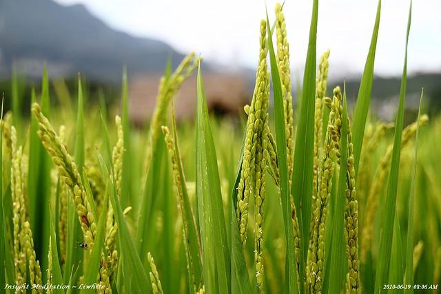 稻禾| flickr – 相片分享!