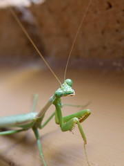 arthropod, animal, cricket-like insect, wing, invertebrate, macro photography, mantis, grasshopper, green, fauna, close-up,
