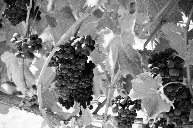 grapevine at winery in sonoma, CA