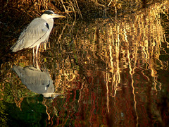 Autumn Colours: grey heron on golden pond