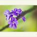 Stachytarpheta angustifolia por J. Amorin