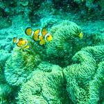 #シュノウォーカー   #マリンウォーク #ShunoWalker #seaworld #sea #seawalk #seawalker  #小丑魚#Clownfish #anemonefish #海葵魚 #anemone #okinawa  #beach #沖縄 #marine