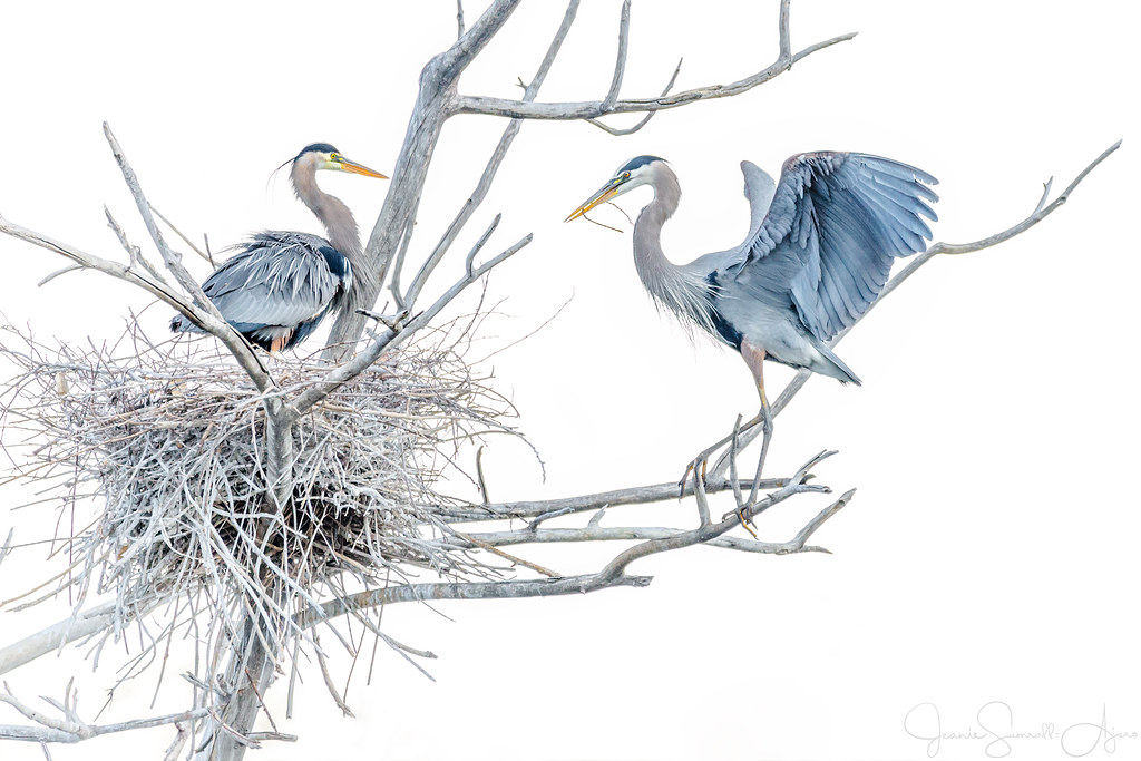 Great Blue Herons - High Key