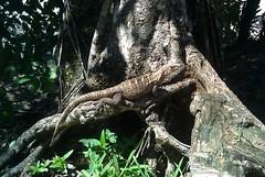 Roadside iguana