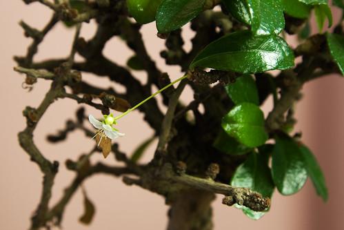 Carmona bonsai tree with small white flower