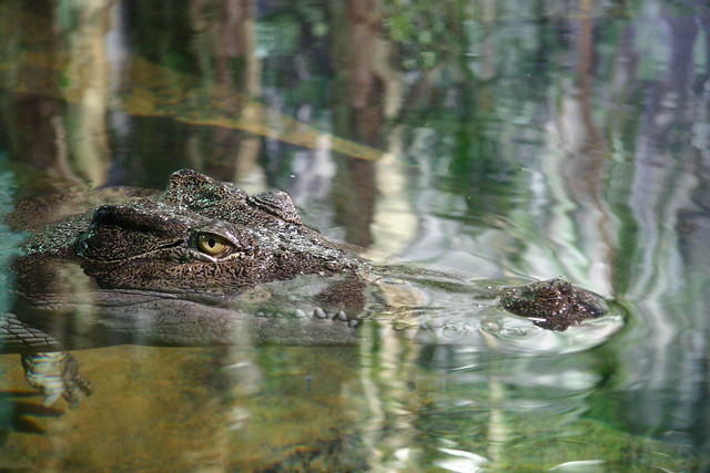 Crocodile  Saltwater crocodile Crocodylus porosus at Sydne…  Flickr - Photo...