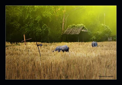 morning light thailand buffalo nikon rags chiangmai dri blending d80 nohdr