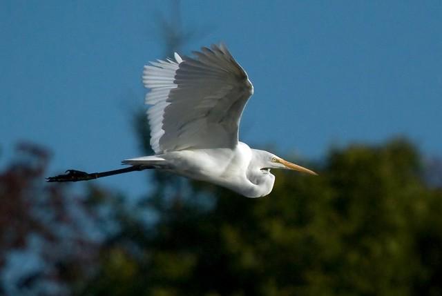 Great White Egret in flight – colour edit