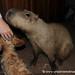 Meeting the Capybara - Concepcion, Paraguay