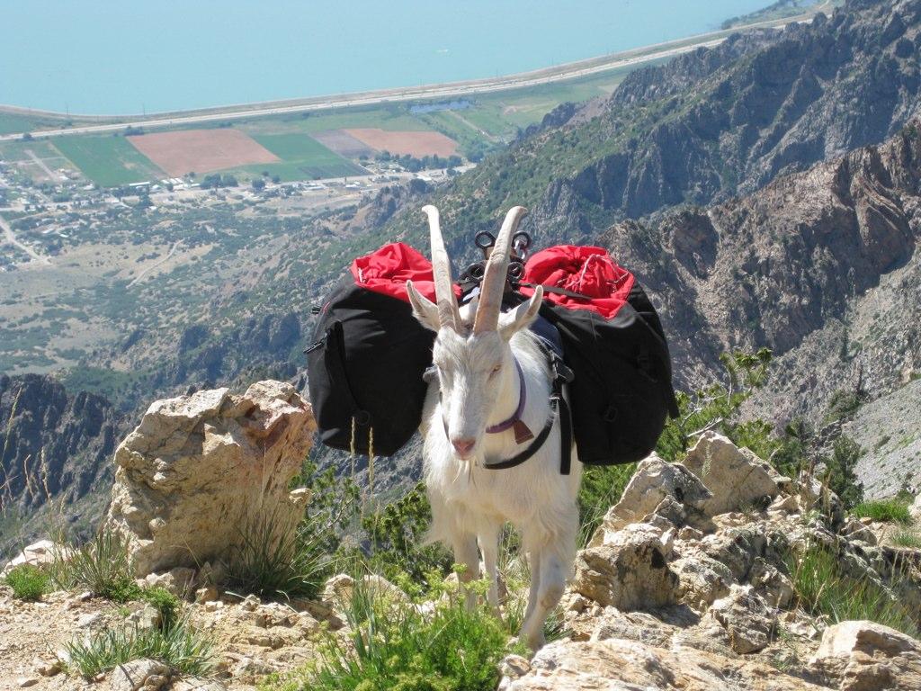 Pack goat