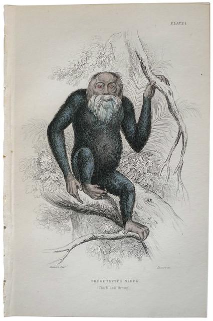 Troglodytes Niger (The Black Orang) (1850) | Flickr ...