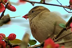 Female House Sparrow Lunching on Quince Blossoms