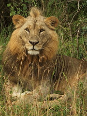 prairie(0.0), wild cat(0.0), savanna(0.0), animal(1.0), big cats(1.0), masai lion(1.0), lion(1.0), mammal(1.0), fauna(1.0), whiskers(1.0), grassland(1.0), safari(1.0), wildlife(1.0),