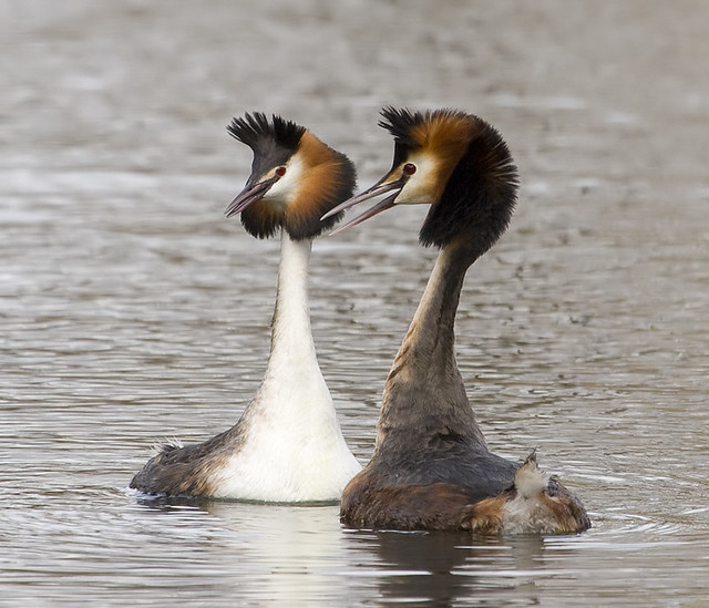Great Crested Grebes courtship display