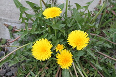 annual plant, dandelion, flower, yellow, plant, sow thistles, flatweed, herb, wildflower, flora,