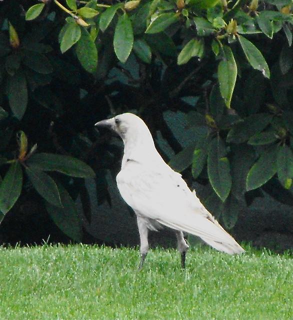 the white crow - photo #37