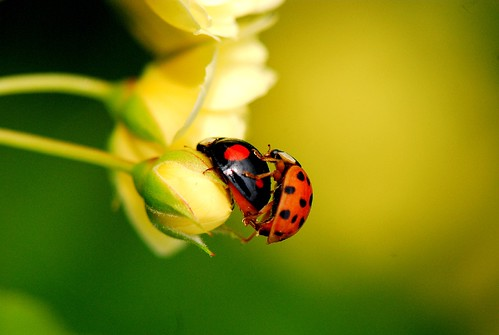 Ladybugs love in spring, Happy Earth Day !