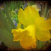 THE DANCE OF DAFFODILS-3