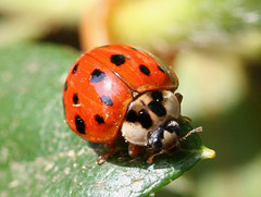 Multicolored Asian Ladybug Beetle