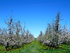 Rows of fruit trees