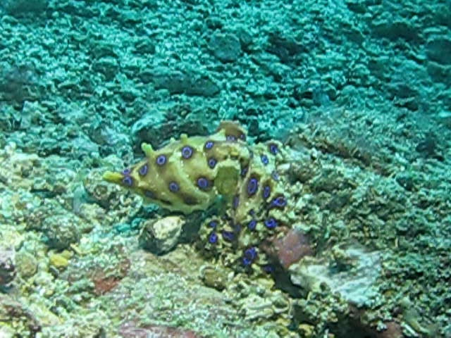 Blue Ringed Octopus | Blue ringed octopus on Critter Hunt ...