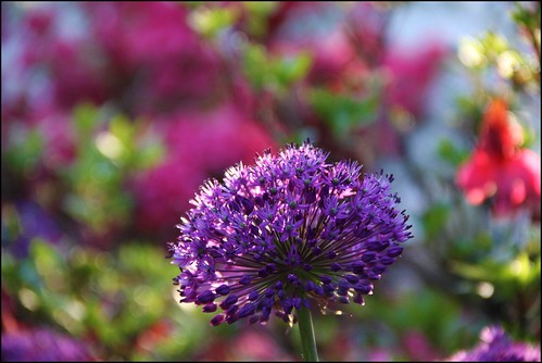 purple poof in a sea of bokeh  .125