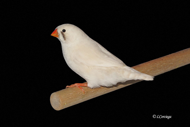English Zebra Finch