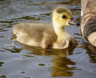 Baby Goose (Canada Gosling)