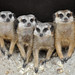 Meerkats by Truus & Zoo