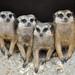 Meerkats by Truus & Zoo