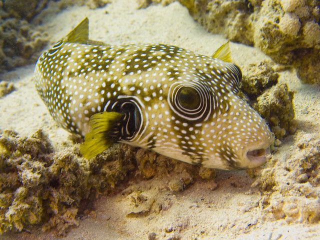 Giant puffer fish arothron stellatus flickr photo for Giant puffer fish