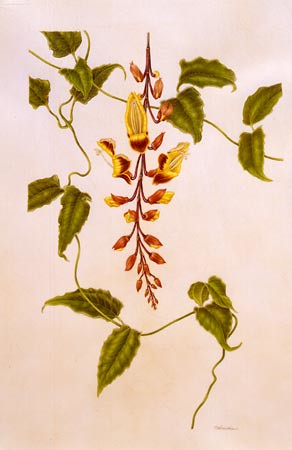 "Carol Woodin, Thunbergia mysorensis Watercolor on vellum, 30"" × 22"" © Copyright Brooklyn Botanic Garden"