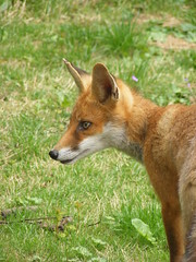 red wolf(0.0), dhole(0.0), kit fox(0.0), norwegian lundehund(0.0), dog breed(1.0), animal(1.0), dingo(1.0), mammal(1.0), fauna(1.0), red fox(1.0), wildlife(1.0),