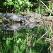 Alligator Canal   DSCN1714