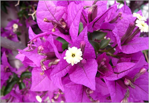 Bougainvillea by Ginas Pics