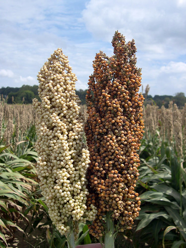 Sorghum Differences