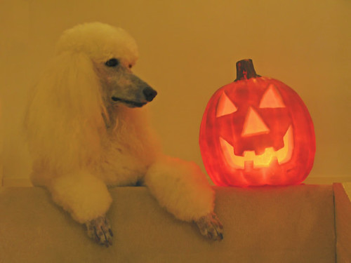 orange dog white fall dogs halloween public stairs pumpkin carpet jackolantern paws lisette lowcontrast whitedog standardpoodle highquality glowinglight 4352 standardpoodlecanicheroyal mediumquality 52weeksfordogs petstandardpoodle public2010 assignment52432010