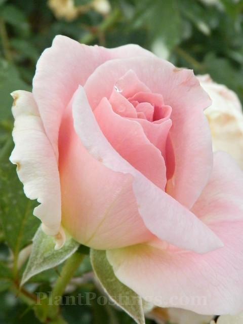 mordon blush