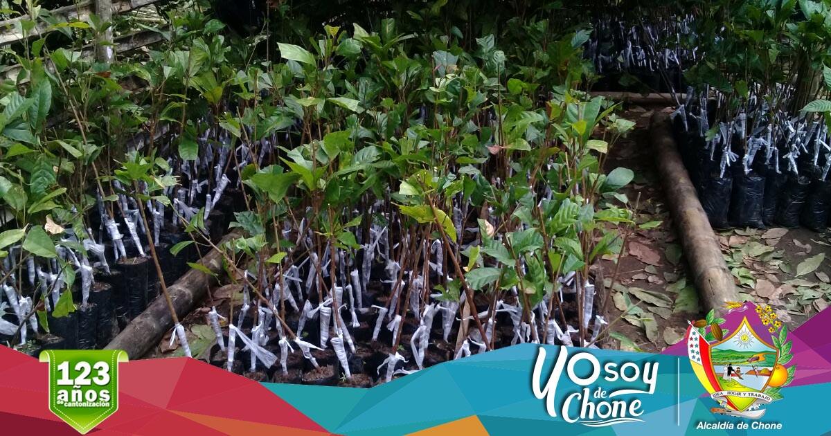 Alcaldía de Chone logró gestión de dos mil varetas de cacao