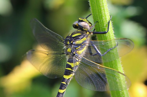 Golden-ringed Dragonfly -Cordulegaster boltonii -Nr Wool Dorset (3)- Explored
