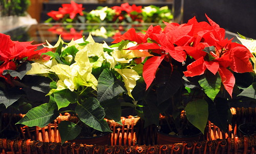 christmas eve red flower beautiful angel de december joel mary flor altar virgin mexican gift offering roberts poinsettias 12th legend brilliant nochebuena poinsett